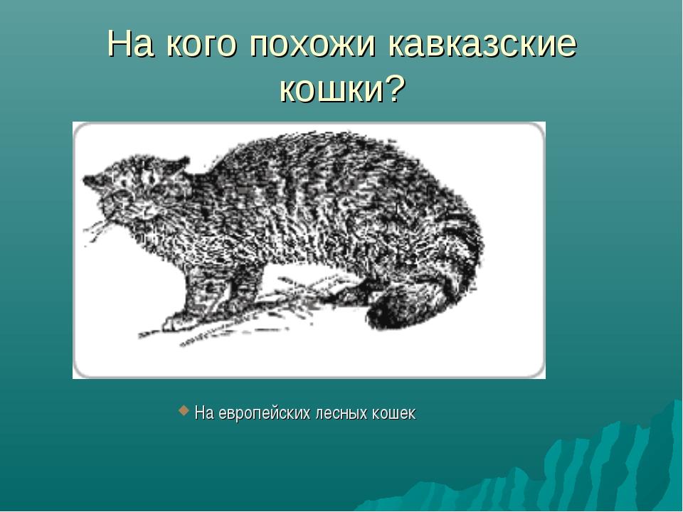 На кого похожи кавказские кошки? На европейских лесных кошек