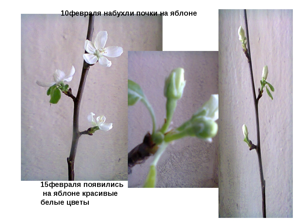 15февраля появились на яблоне красивые белые цветы 10февраля набухли почки н...