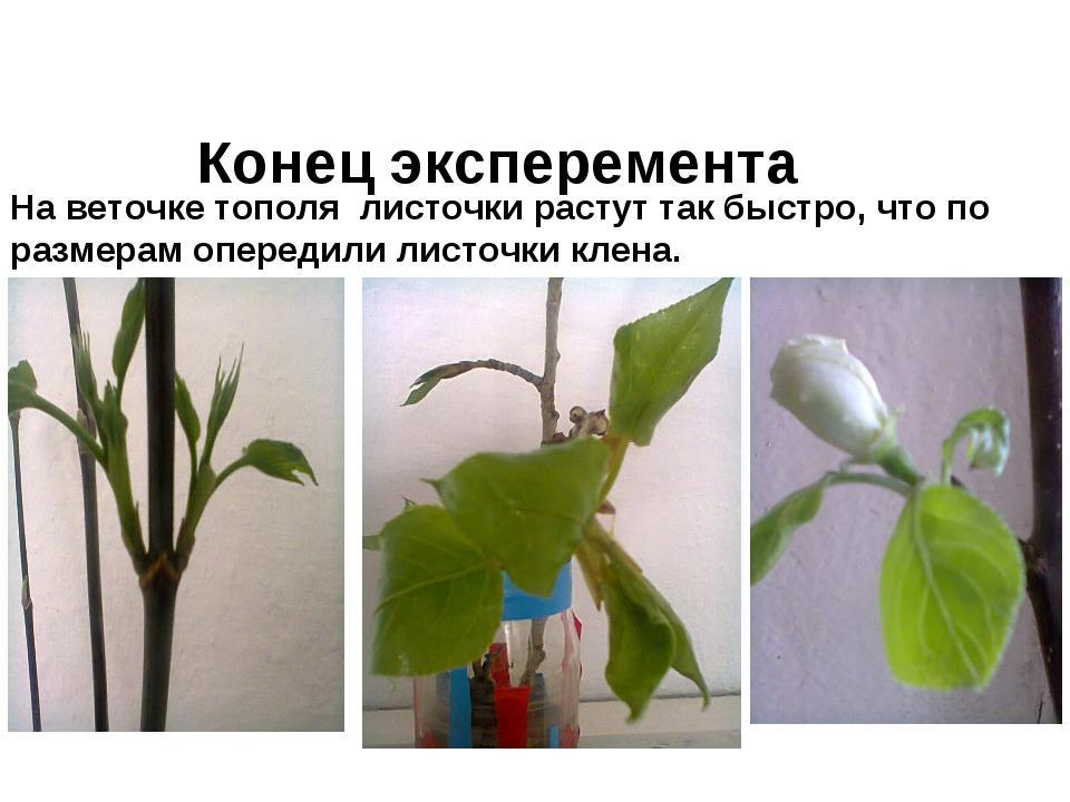 На веточке тополя листочки растут так быстро, что по размерам опередили листо...