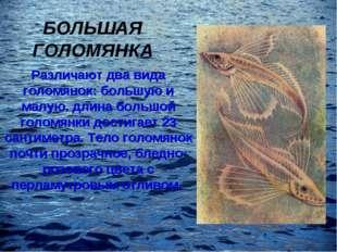 БОЛЬШАЯ ГОЛОМЯНКА Различают два вида голомянок: большую и малую. длина большо