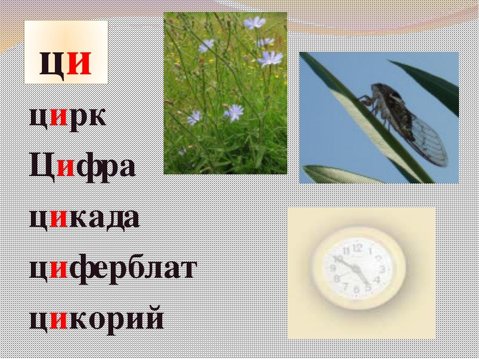 ци цирк Цифра цикада циферблат цикорий