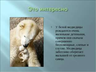 У белой медведицы рождаются очень маленькие детеныши, причем они сначала сове