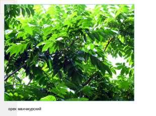 орех манчжурский