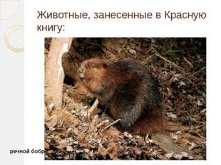 Животные, занесенные в Красную книгу: речной бобр