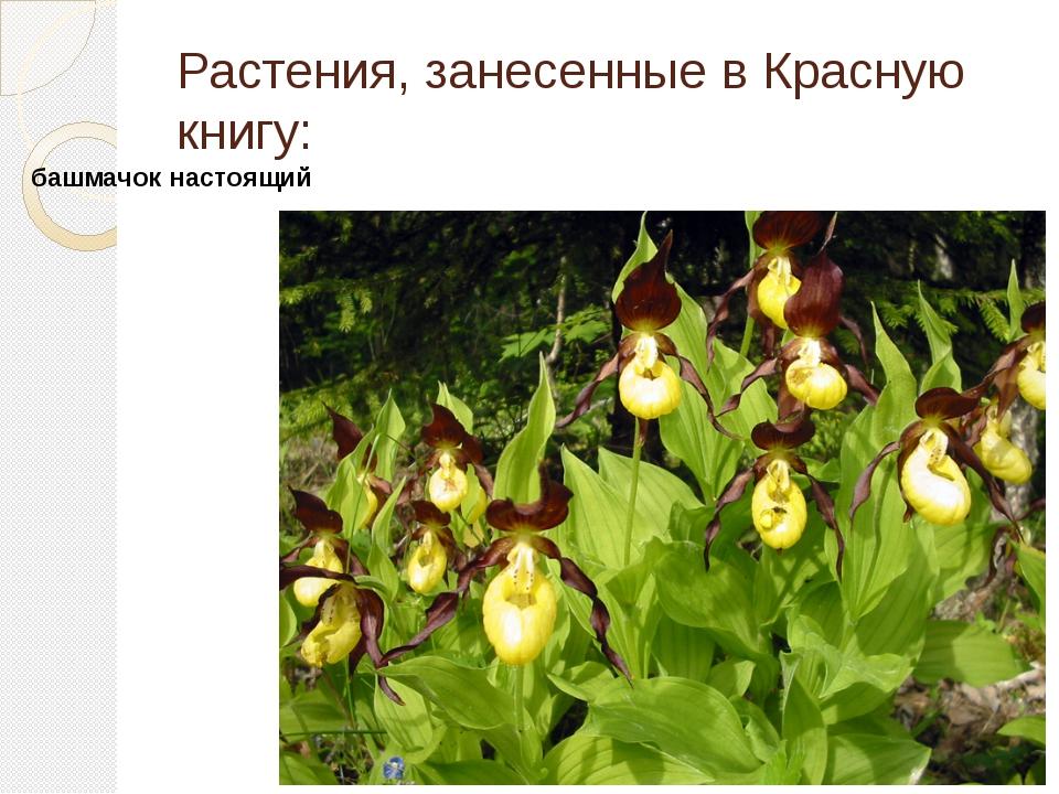 Растения, занесенные в Красную книгу: башмачок настоящий