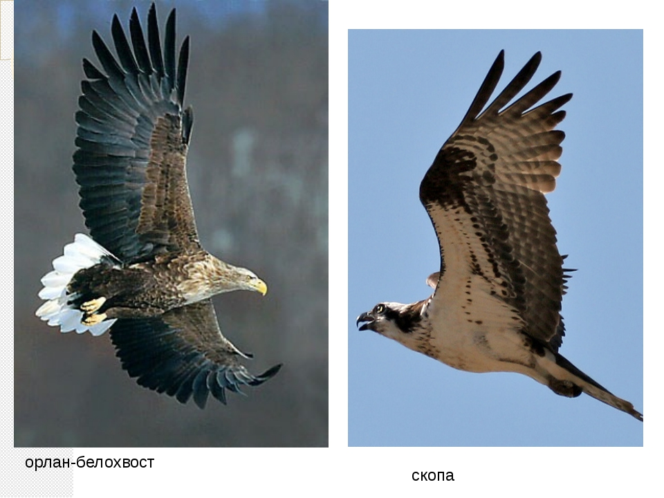 орлан-белохвост скопа