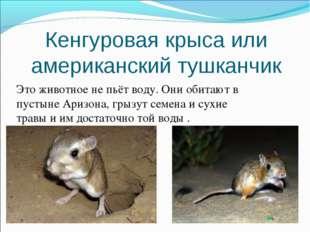 Кенгуровая крыса или американский тушканчик Это животное не пьёт воду. Они об