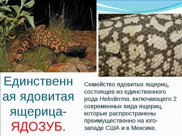 Единственная ядовитая ящерица- ЯДОЗУБ. Семейство ядовитыхящериц, состоящее и...