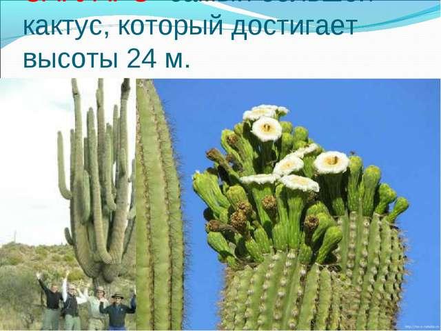 САГУАРО- самый большой кактус, который достигает высоты 24 м.