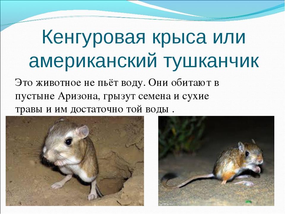 Кенгуровая крыса или американский тушканчик Это животное не пьёт воду. Они об...