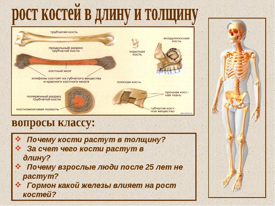 Почему кости растут в толщину? За счет чего кости растут в длину? Почему взр...