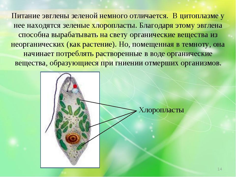 Питание эвглены зеленой немного отличается. В цитоплазме у нее находятся зеле...