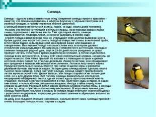 Синица – одна из самых известных птиц. Оперение синицы яркое и красивое – ка