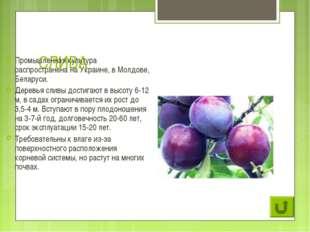 СЛИВА Промышленная культура распространена на Украине, в Молдове, Беларуси. Д