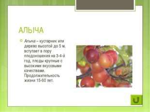 АЛЫЧА Алыча – кустарник или дерево высотой до 5 м, вступает в пору плодоношен