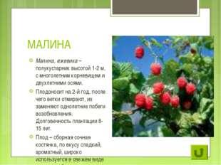 МАЛИНА Малина, ежевика – полукустарник высотой 1-2 м, с многолетним корневище
