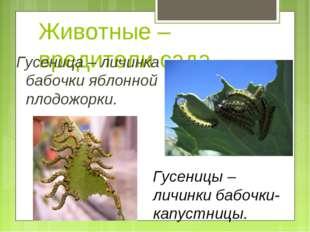 Животные – вредители сада Гусеница – личинка бабочки яблонной плодожорки. Гус