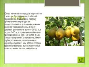 ГРУША Груша занимает площадь в мире около 1 млн. га. По сравнению с яблоней г