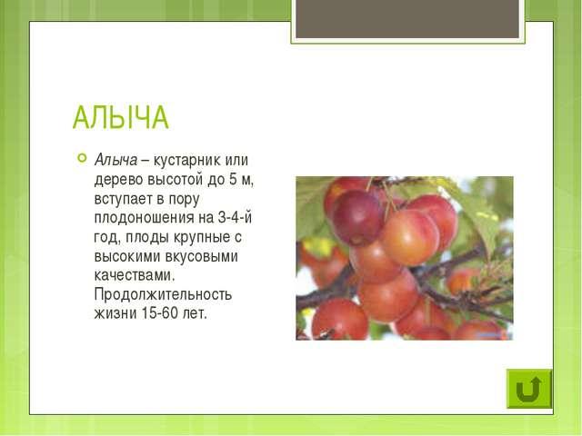 АЛЫЧА Алыча – кустарник или дерево высотой до 5 м, вступает в пору плодоношен...