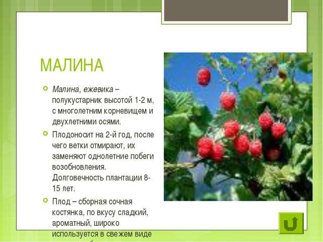 МАЛИНА Малина, ежевика – полукустарник высотой 1-2 м, с многолетним корневище...