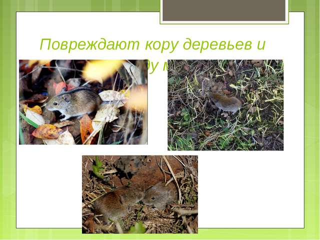 Повреждают кору деревьев и живущие в саду мыши.