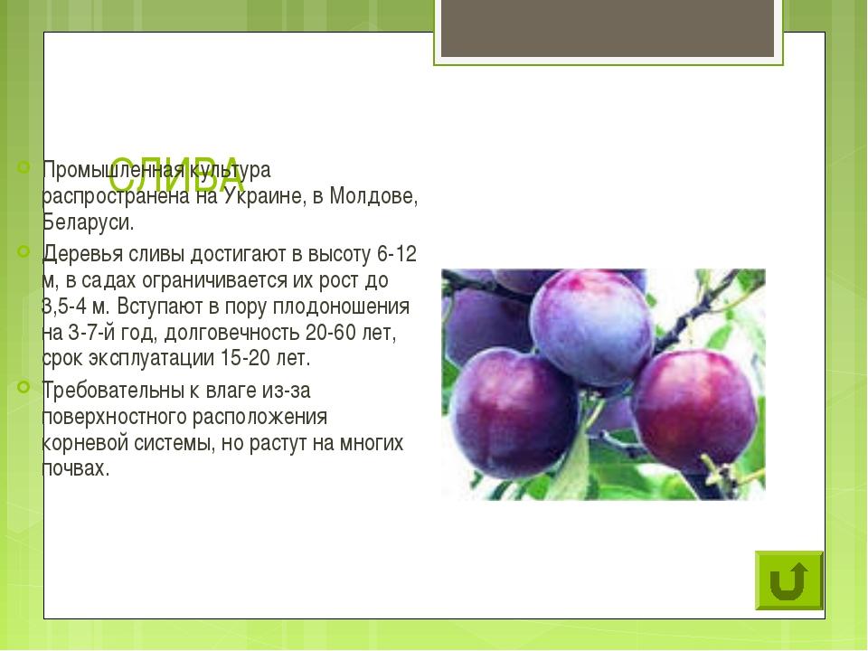 СЛИВА Промышленная культура распространена на Украине, в Молдове, Беларуси. Д...