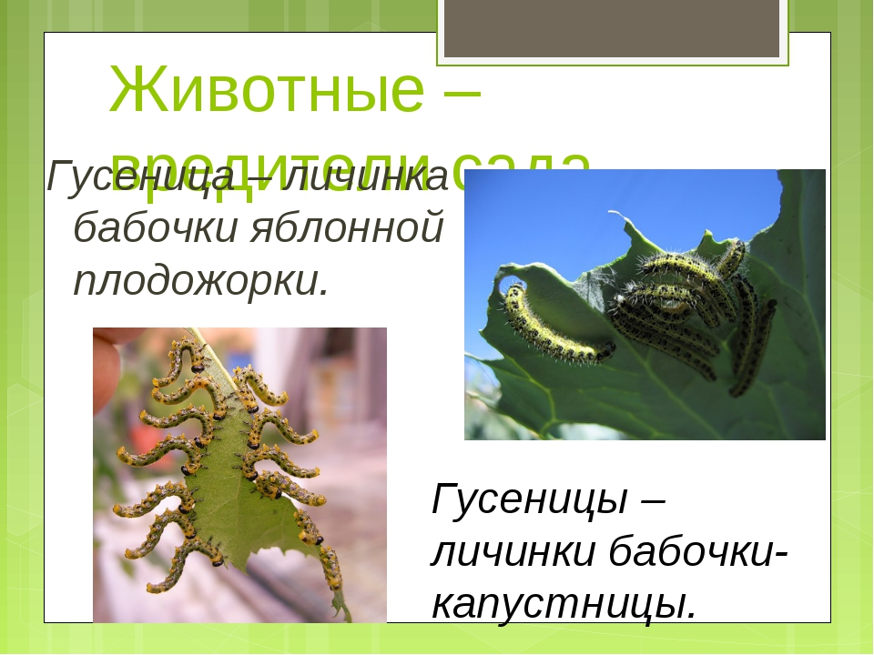 Животные – вредители сада Гусеница – личинка бабочки яблонной плодожорки. Гус...