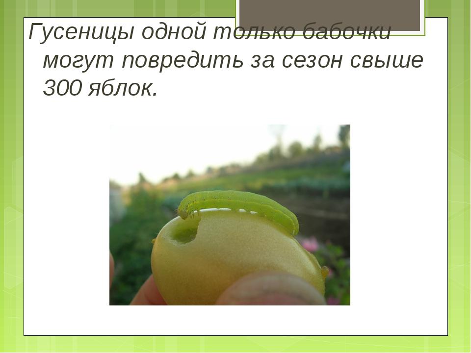 Гусеницы одной только бабочки могут повредить за сезон свыше 300 яблок.