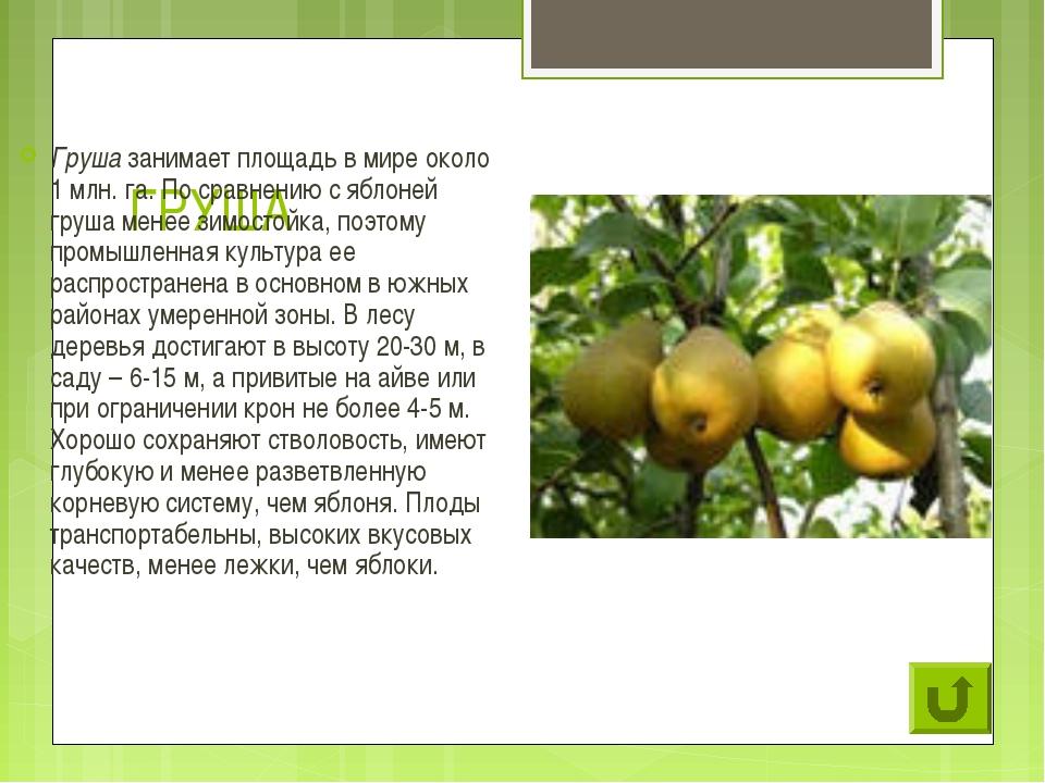 ГРУША Груша занимает площадь в мире около 1 млн. га. По сравнению с яблоней г...