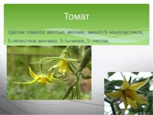 Цветки томатов жёлтые, мелкие, имеют-5 чашелистиков, 5-лепестков венчика, 5-т
