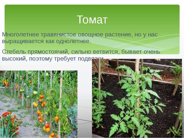 Многолетнее травянистое овощное растение, но у нас выращивается как однолетне...