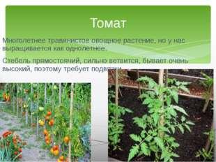 Многолетнее травянистое овощное растение, но у нас выращивается как однолетне