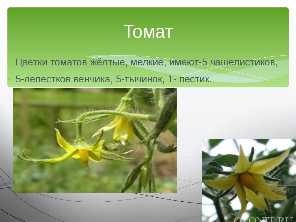 Цветки томатов жёлтые, мелкие, имеют-5 чашелистиков, 5-лепестков венчика, 5-т...