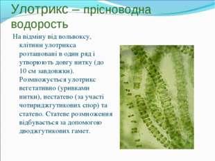 Улотрикс – прісноводна водорость На відміну від вольвоксу, клітини улотрикса