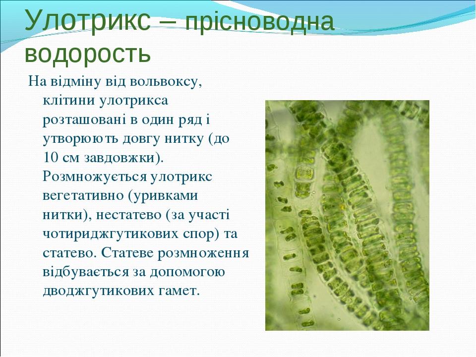 Улотрикс – прісноводна водорость На відміну від вольвоксу, клітини улотрикса...