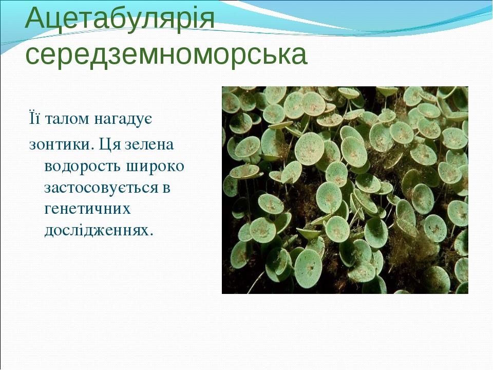 Ацетабулярія середземноморська Її талом нагадує зонтики. Ця зелена водорость...