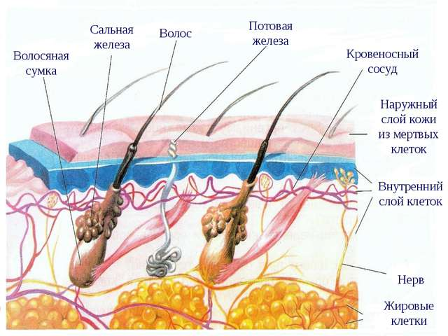 Волосяная сумка Сальная железа Волос Потовая железа Кровеносный сосуд Наружны...