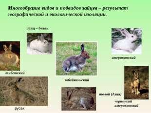 американский Заяц – беляк забайкальский черноухий американский тибетский тол