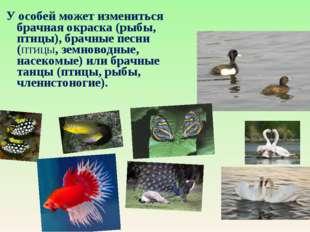 У особей может измениться брачная окраска (рыбы, птицы), брачные песни (птиц