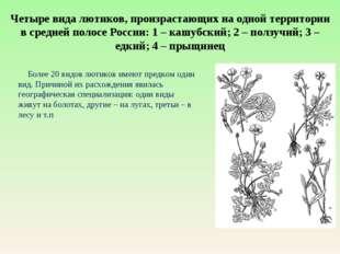Четыре вида лютиков, произрастающих на одной территории в средней полосе Росс