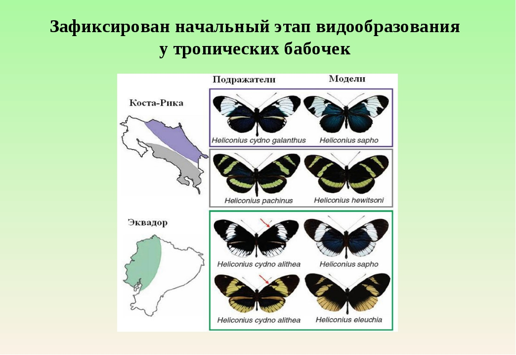 Зафиксирован начальный этап видообразования утропических бабочек