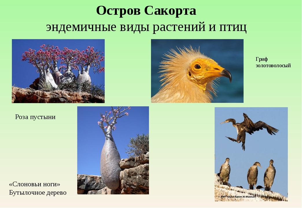 Остров Сакорта эндемичные виды растений и птиц Роза пустыни «Слоновьи ноги» Б...
