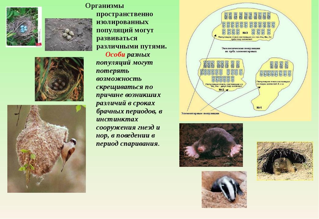 Организмы пространственно изолированных популяций могут развиваться различным...