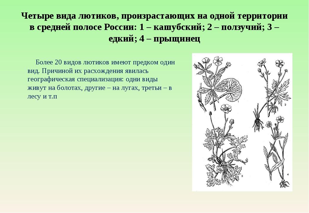 Четыре вида лютиков, произрастающих на одной территории в средней полосе Росс...