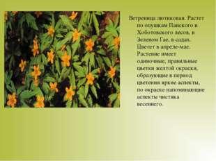 Ветреница лютиковая. Растет по опушкам Панского и Хоботовского лесов, в Зелен
