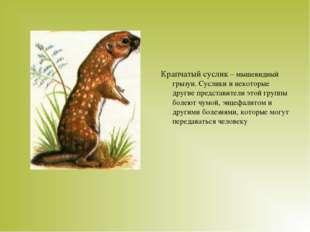 Крапчатый суслик – мышевидный грызун. Суслики и некоторые другие представител