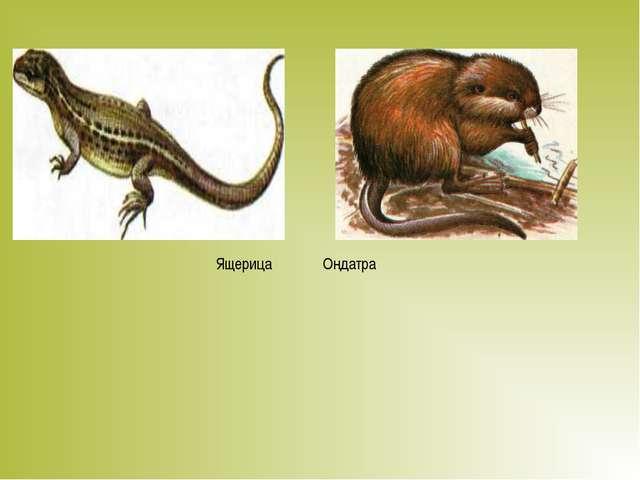 Ящерица Ондатра