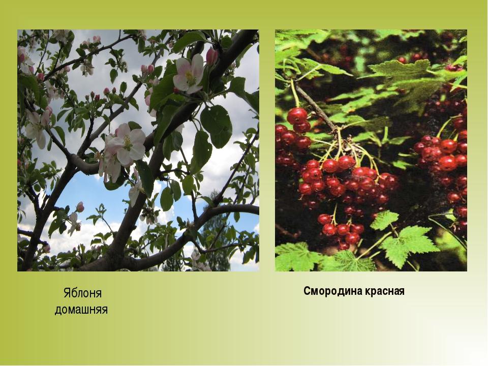 Яблоня домашняя Смородина красная