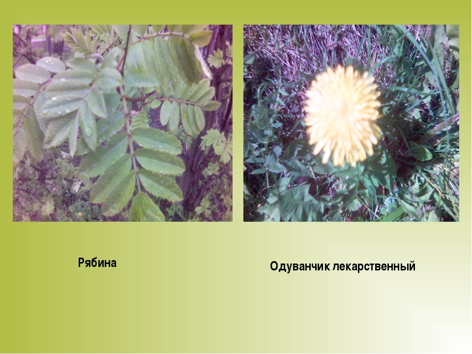 Рябина Одуванчик лекарственный