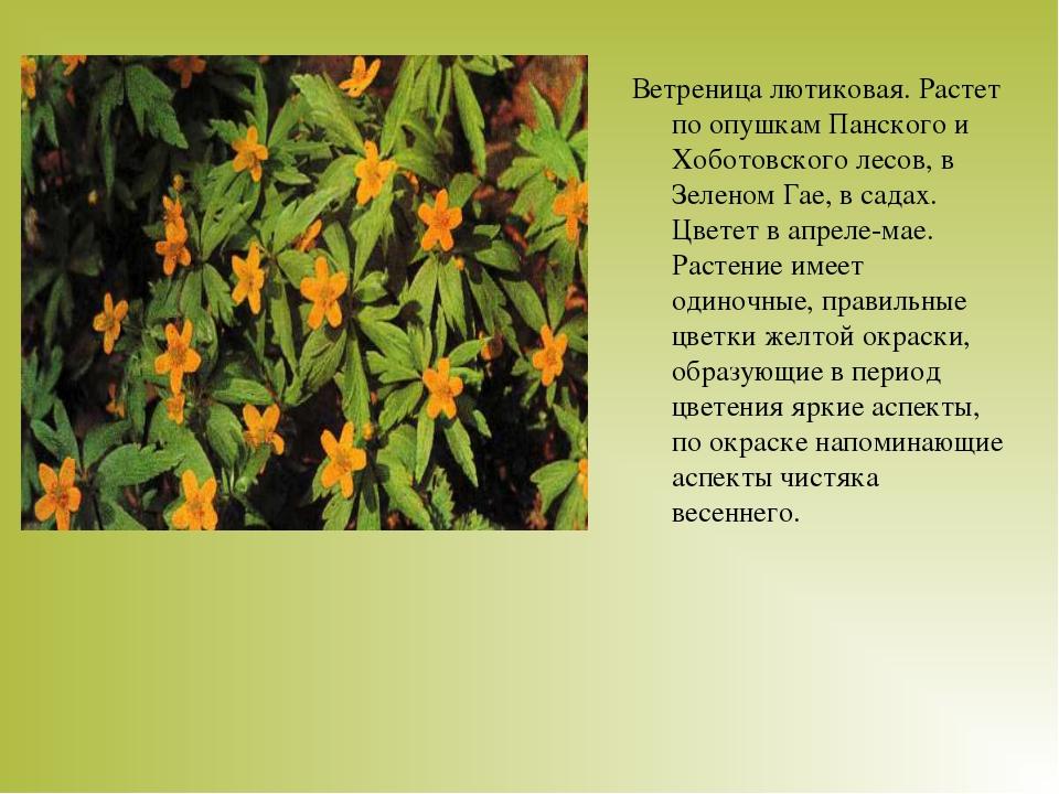 Ветреница лютиковая. Растет по опушкам Панского и Хоботовского лесов, в Зелен...